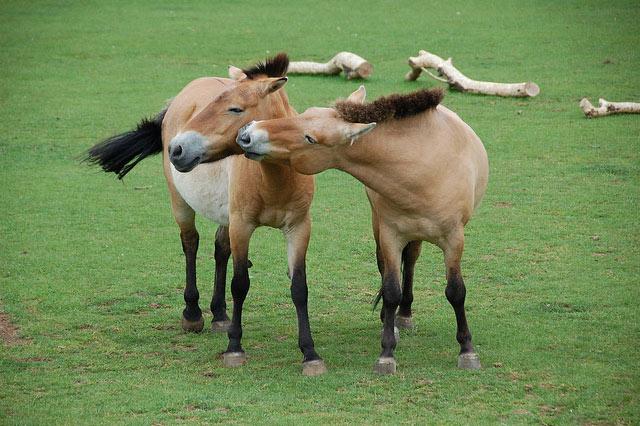 Что ели лошади Пржевальского сто лет назад | Наука и жизнь