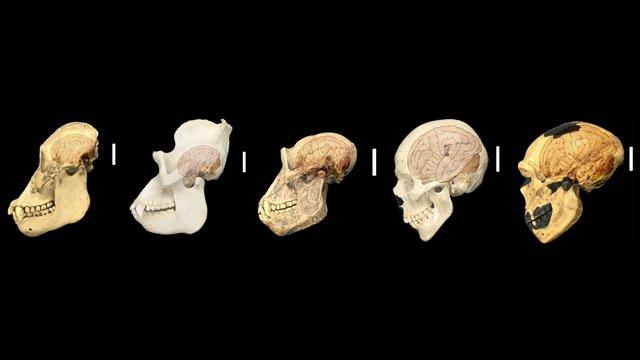 Картинки по запросу Слева направо: череп орангутана, гориллы шимпанзе, человека и неандертальца
