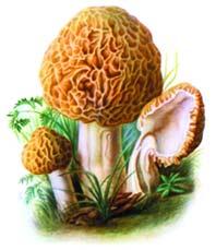 Картинка гриб сморчок для детей