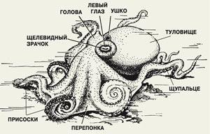 Внешний вид и внутреннее строение осьминога рисунок